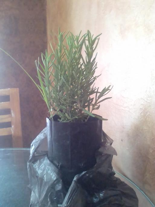 إشتريت نبتة إكليل الجبل...
